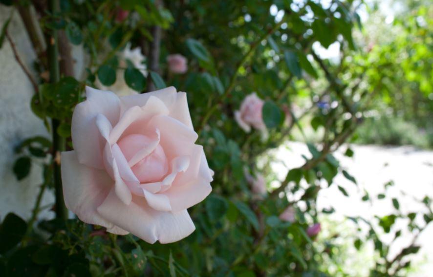 rose name: blossomtime