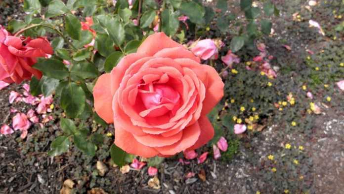 rose names