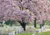 Dwarf Weeping Cherry Tree