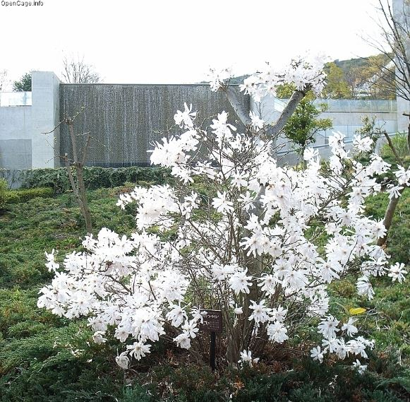 Star magnolia Magnolia stellata
