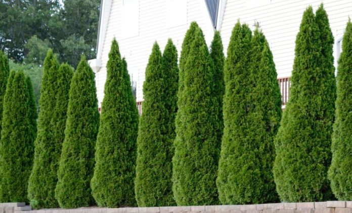 The best fertilizer for arborvitae