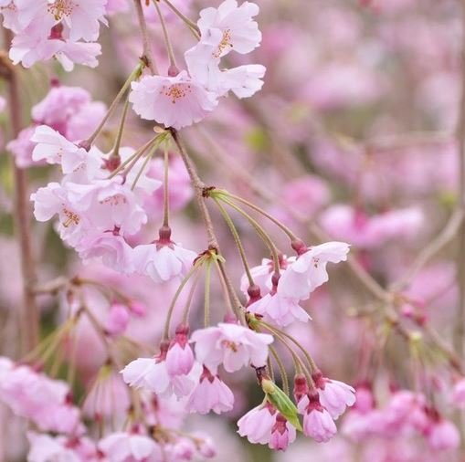 Double Weeping Flowering Cherry Tree