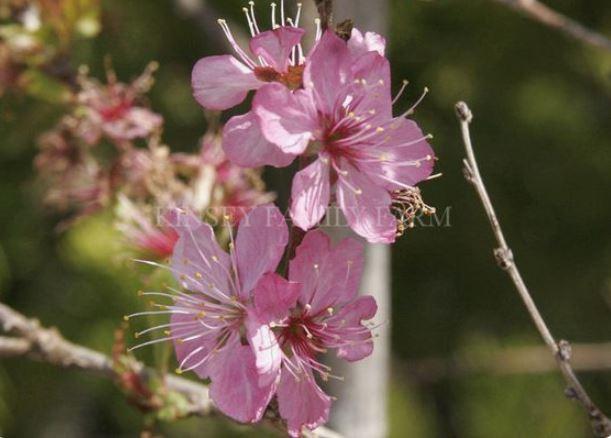 Hiromi Weeping cherry Tree