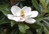 Magnolia Trees identification