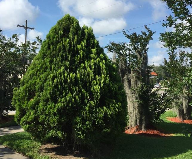 Best Fertilizer For Arborvitae When And How