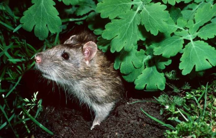 what keeps rats away from your garden