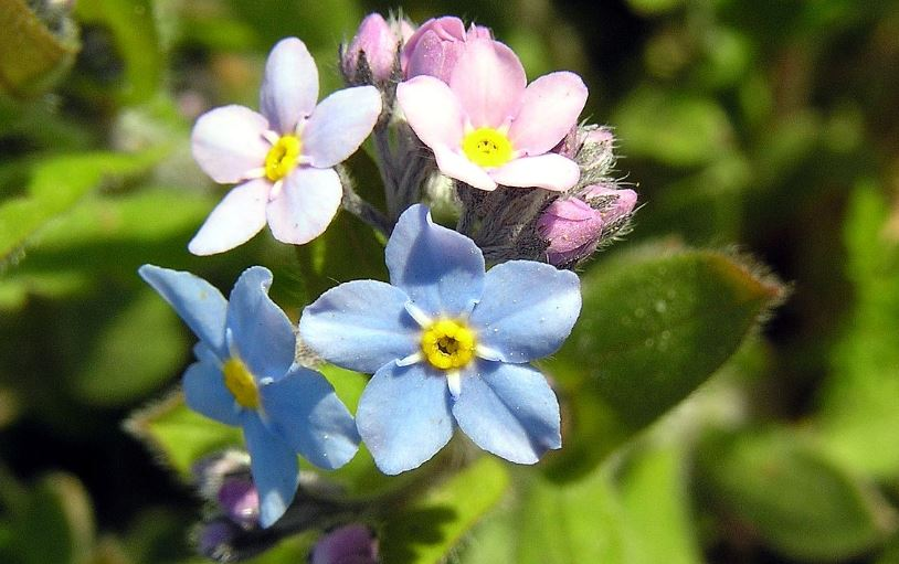 forget me not Broadleaf