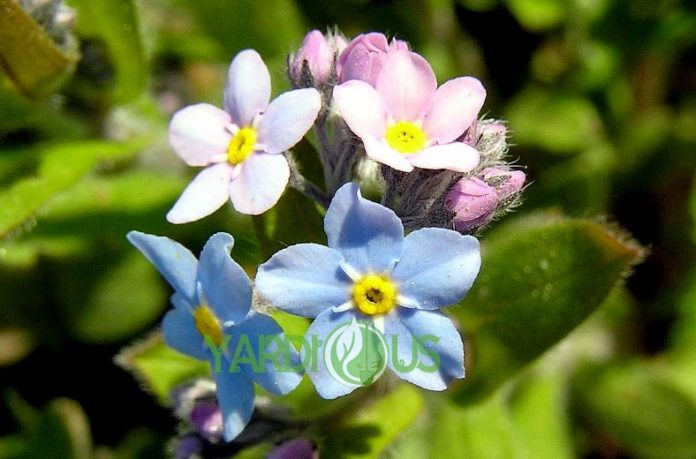 Forget Me Nots or Forget-Me-Not