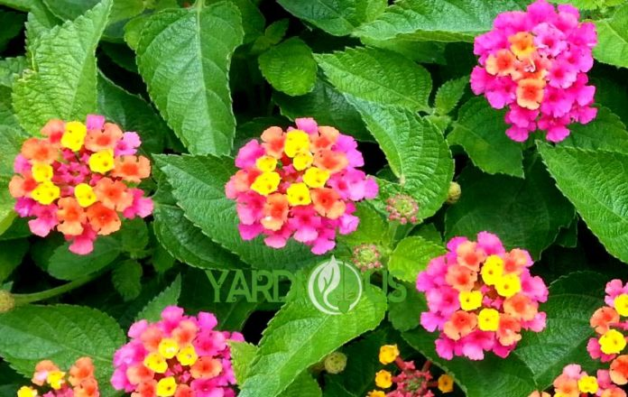 Most Accurate Information About Lantana Confetti Or Lantana Camara