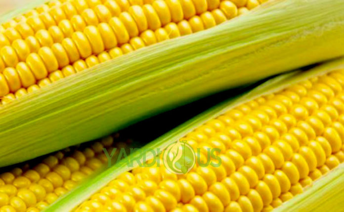 Sweet Corn Varieties and recipes