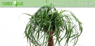 Elephant palm or Ponytail palm