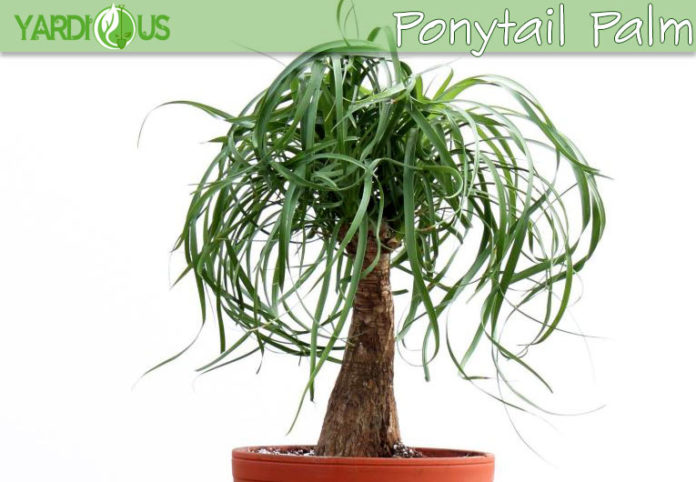 Elephant palm or Ponytail palm