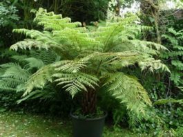 Pruning Tree Ferns