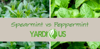 Spearmint vs peppermint