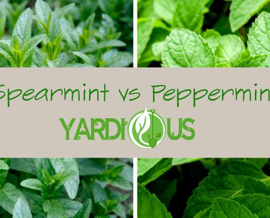 Spearmint vs peppermint