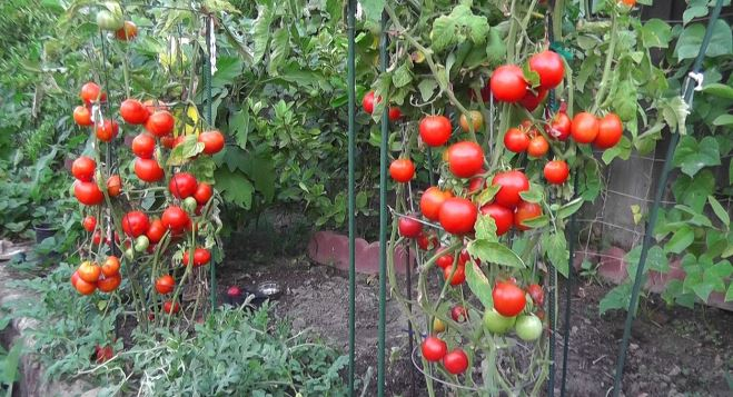 how far to space tomato plants apart
