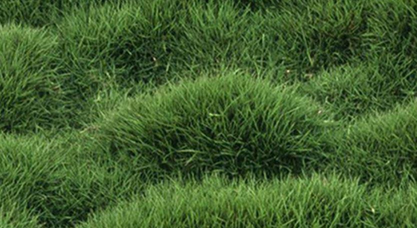Mascarene Grass or  Zoysia tenuifolia