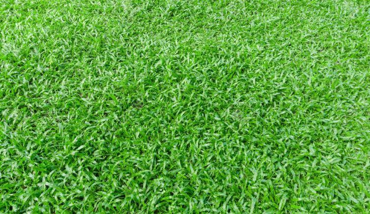 Manila  Zoysia Grass