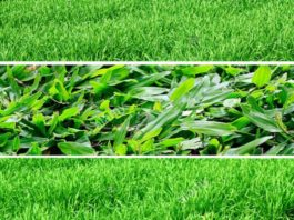 different types of lawn grass