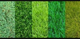 types of grass in texas