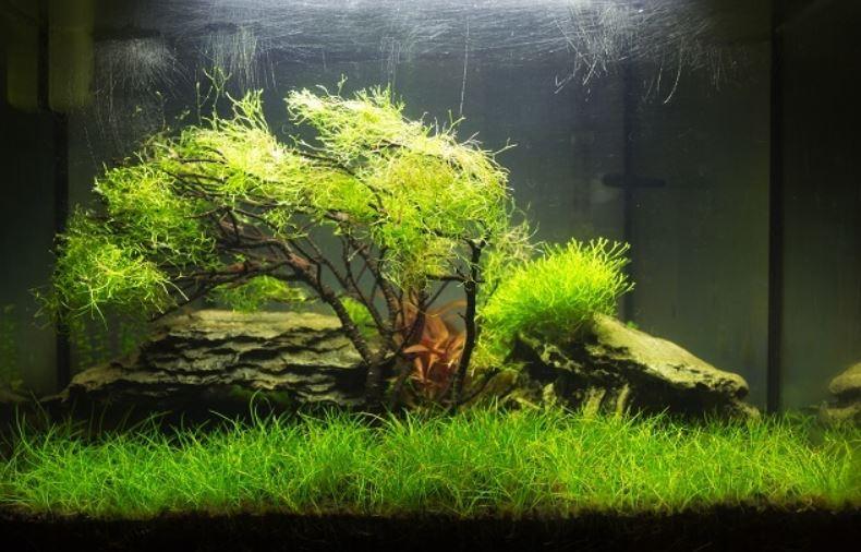 java moss aquarium