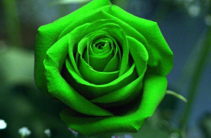 Green Rose: How to Grow, Varieties, History