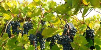 How to Trim Grape Vines