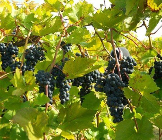 How to Trim Grape Vines