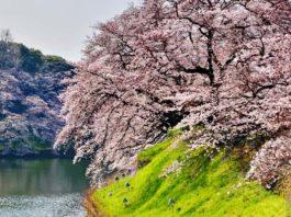 weeping cherry treee