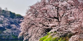 weeping cherry treee