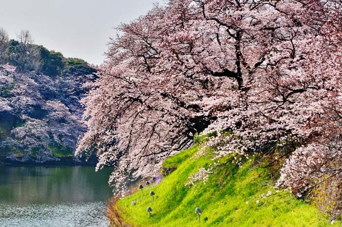 Weeping Cherry Tree Care Watering Types 2019 Guide