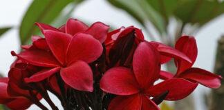 Hilo beauty plumeria