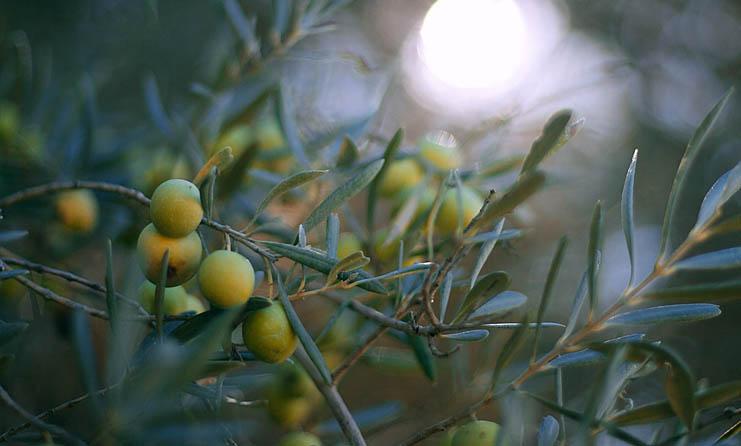 Greek oil tree