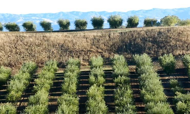 Greek olive tree planting